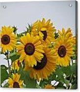 Sunflower Group Acrylic Print