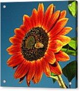 Sunflower Honey Bee Acrylic Print