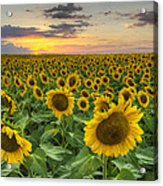 Sunflower Images - A Field Of Golden Texas Wildflowers Acrylic Print