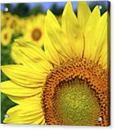 Sunflower In Field Acrylic Print by Elena Elisseeva