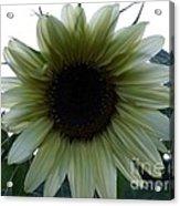 Sunflower In Light Acrylic Print