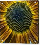 Sunflower In Rain Acrylic Print