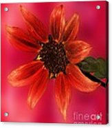 Sunflower In Red Acrylic Print