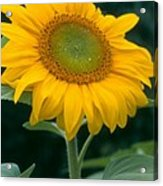 Sunflower In Seattle Acrylic Print