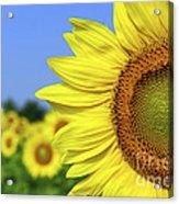 Sunflower In Sunflower Field Acrylic Print by Elena Elisseeva