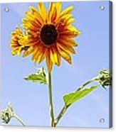 Sunflower In The Sky Acrylic Print by Kerri Mortenson