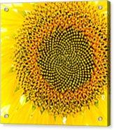 Sunflower In The Summer Sun Acrylic Print