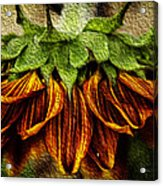 Sunflower Acrylic Print by John Monteath