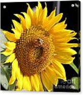 Sunflower-jp2437 Acrylic Print