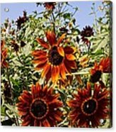 Sunflower Layers Acrylic Print by Kerri Mortenson