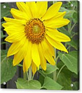 Sunflower Acrylic Print by Lisa Phillips