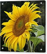 Sunflower Looking To The Sky Acrylic Print