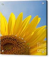 Sunflower Looking Up Acrylic Print