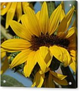 Sunflower Madness  Acrylic Print by Scott Ware