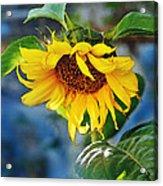 Sunflower Magic I Acrylic Print