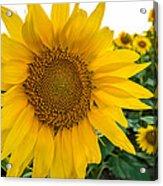 Fibonacci In Full Bloom Acrylic Print