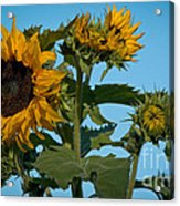 Sunflower Morning Acrylic Print