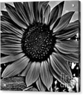 Sunflower In Black And White Acrylic Print