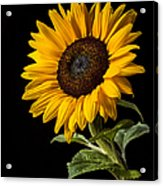 Sunflower Number 2 Acrylic Print