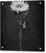 Sunflower Number 5 B W Acrylic Print