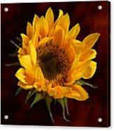 Sunflower Opening Acrylic Print
