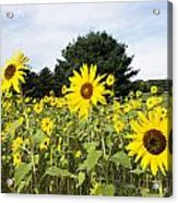 Sunflower Patch Acrylic Print by Ray Summers Photography
