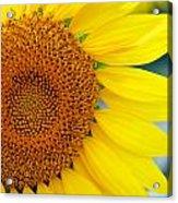 Sunflower Petals Acrylic Print