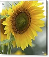 Sunflower Portrait Acrylic Print