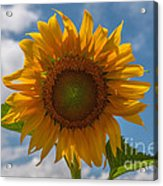 Sunflower Power Acrylic Print