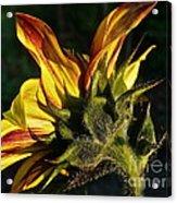 Sunflower Profile Acrylic Print