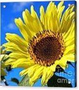 Sunflower Reaching For The Sun Acrylic Print