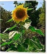 Sunflower Sally Acrylic Print