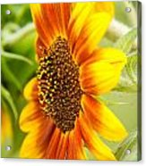 Sunflower Side Portrait Acrylic Print