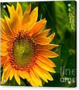 Sunflower Single Acrylic Print