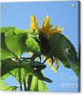Sunflower Sky Acrylic Print