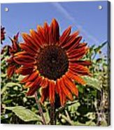 Sunflower Sky Acrylic Print by Kerri Mortenson