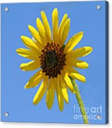 Sunflower Square Acrylic Print