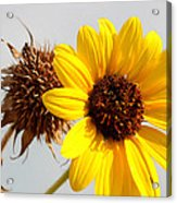 Sunflower Stages Acrylic Print