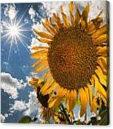 Sunflower Study 2 Acrylic Print