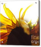 Sunflower Sunlight Acrylic Print