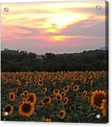 Sunflower Sunset Acrylic Print by Dawn Vagts