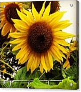 Sunflower Sunshine Acrylic Print