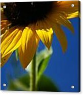 Sunflower Three Acrylic Print