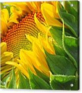 Sunflower Unfolding  Acrylic Print