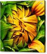 Sunflower Volunteer Acrylic Print