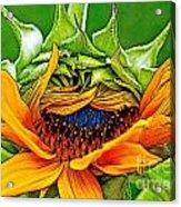 Sunflower Volunteer Half Bloom Acrylic Print