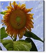 Sunflower With Busy Bees Acrylic Print