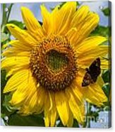 Sunflower With Butterfly Acrylic Print