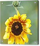 Sunflower With Honey Bee. Acrylic Print