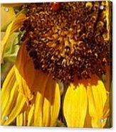 Sunflower With Ladybug Acrylic Print
